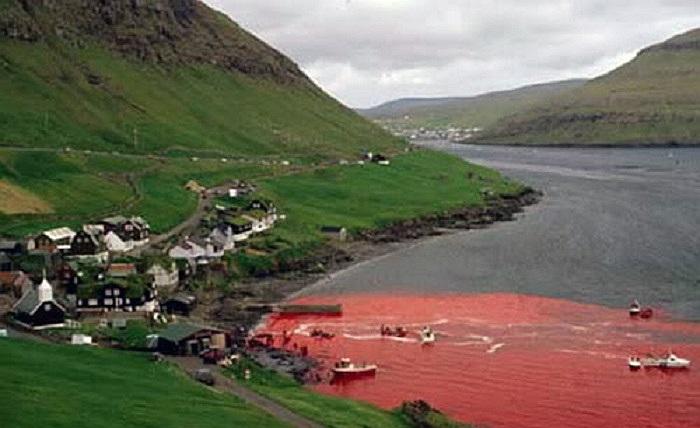 Các cuộc săn cá voi như trên đã gây ra sự phẫn nộ quốc tế và bị lên án là man rợ đối với loài động vật cần bảo tồn này