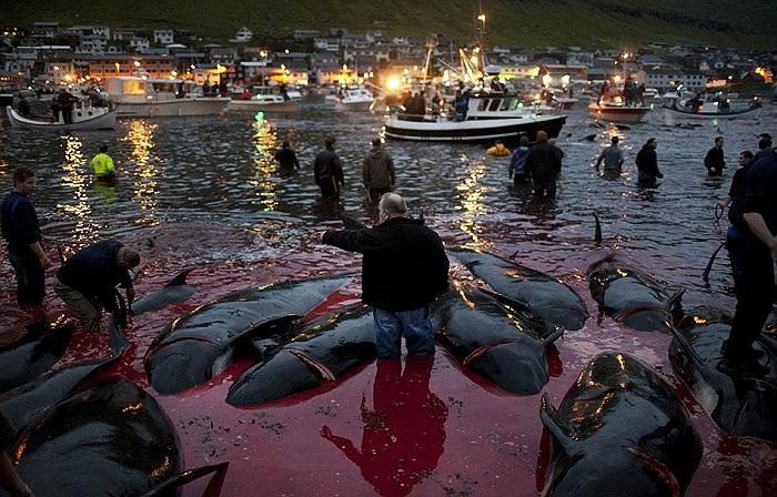 Lễ hội thảm sát cá voi ở hòn đảo này lâu nay vẫn được xem là lễ hội truyền thống của dân đảo