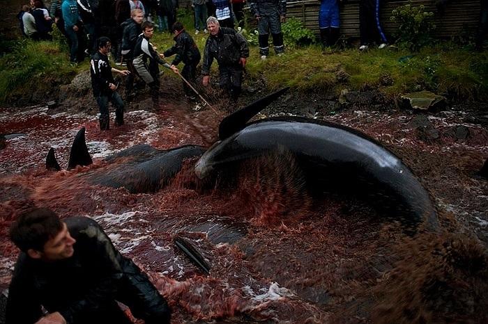Việc săn giết cá voi diễn ra trên diện rộng, khiến toàn bộ vùng nước gần bờ đổi sang màu máu đỏ tươi của cá
