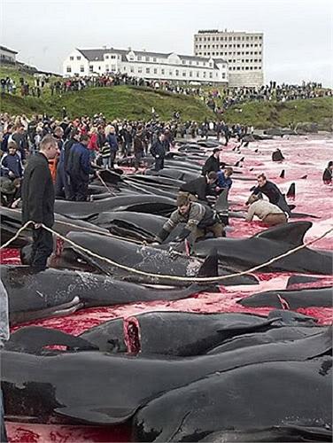 Những con cá phải chịu đau đớn của cái chết từ từ vì mất máu khi bị đâm bằng những chiếc móc dày