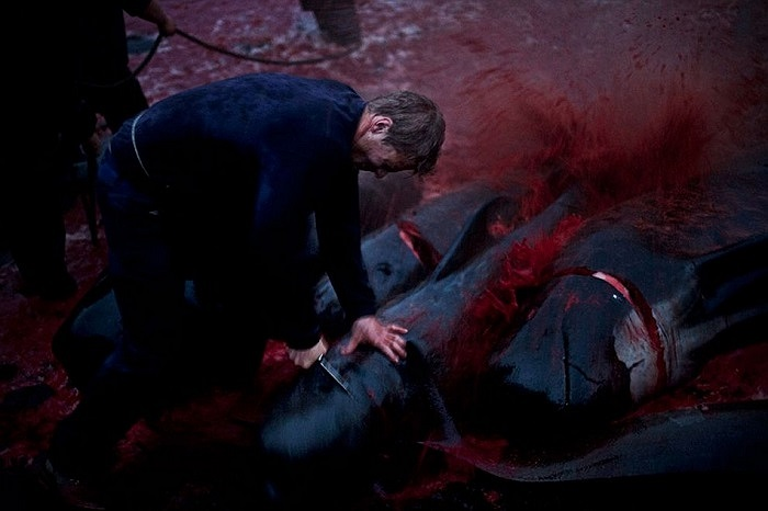 Năm nào bờ biển Faroe cũng bị nhuốm đỏ máu của những sinh vật vô tội