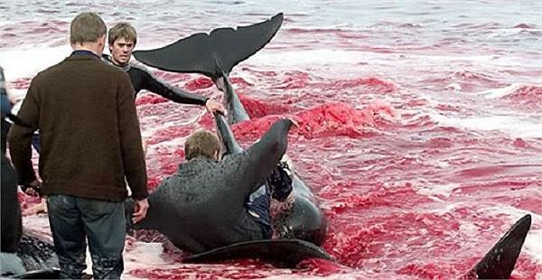 Cá voi bị bắt sẽ được di chuyển vào trong vịnh sau đó cắt xương sống và để máu chảy từ từ cho tới khi chết