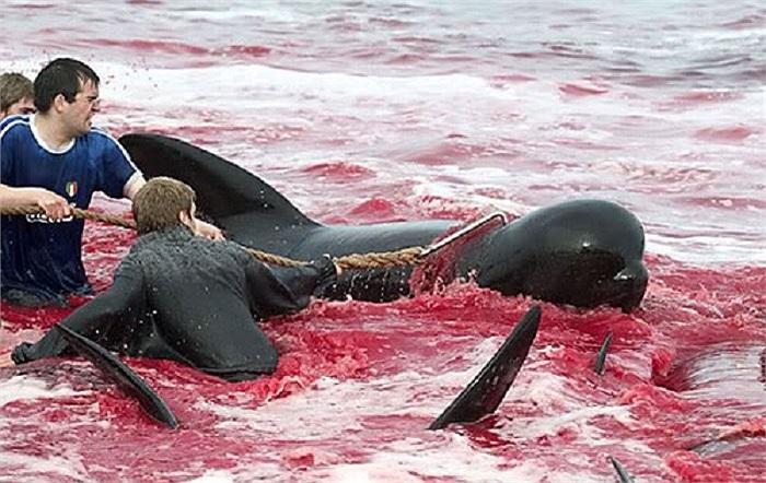 Việc săn bắt cá voi mang mục đích phi thương mại, thịt và mỡ cá voi được chia đều cho người dân địa phương