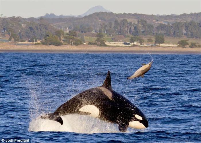 Là loài lớn nhất trong họ cá voi và cũng là động vật ăn thịt hung dữ nhất đại dương, cá voi sát thủ Orca cho thấy kĩ năng săn mồi khủng khiếp của mình khi hất tung chú cá heo lên trời.