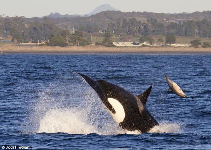Cuộc tấn công diễn ra cực kì chớp nhoáng và khoảng cách mà chú cá heo tội nghiệp bị đánh bật lên khỏi mặt nước ước tính là hơn 6m.