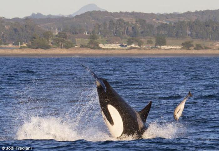 Những bức ảnh ấn tượng này do chuyên gia tư vấn môi trường 65 tuổi Jodi Fredi chụp tại Santa Cruz, California từ khoảng cách gần 5m so với bờ.