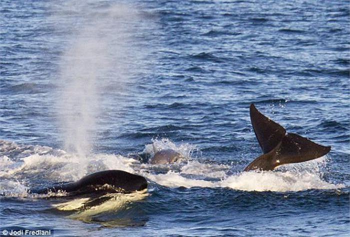 Fredi cho biết, sự việc diễn ra nhanh tới nỗi, theo thời gian hiển thị trên máy ảnh, cú vẫy đuôi cực mạnh và màn hất tung con mồi của cá voi sát thủ chỉ diễn ra trong vòng... 1 giây.
