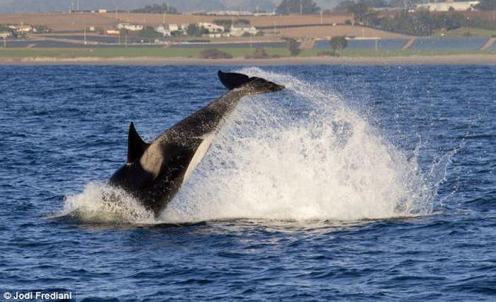 Khi di chuyển với tốc độ chóng mặt như vậy, việc lao đầu vào cá heo và giết chết nó của cá voi sát thủ Orca trở nên vô cùng dễ dàng.