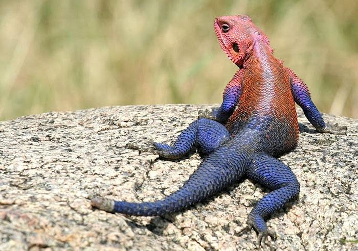 Với màu sắc khá kỳ lạ, chúng được gọi là thằn lằn 'quái vật', hoặc thằn lằn 'siêu nhân'.