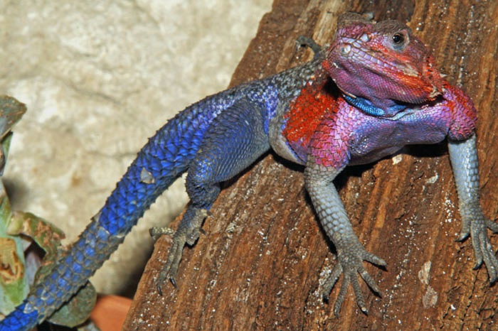 Thằn lằn 'siêu nhân' có tên khoa học là Agama mwanzae, một loài bò sát thuộc họ Agamidae.