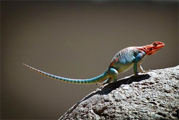 Từ đầu, thân và hai chi trước của thằn lằn Agama mwanzae có màu đỏ hoặc hồng đậm.