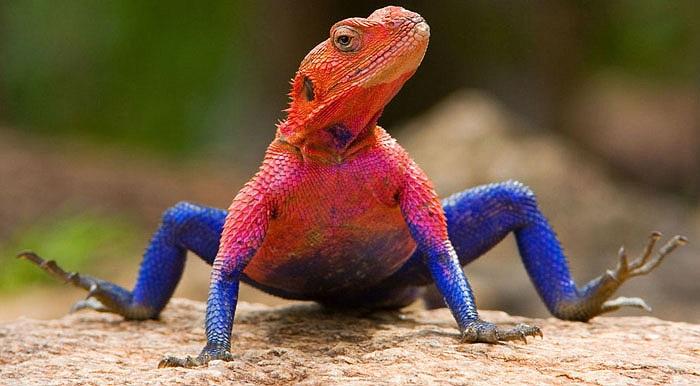 Con đầu đàn thường có màu sắc đậm và sặc sỡ nhất.