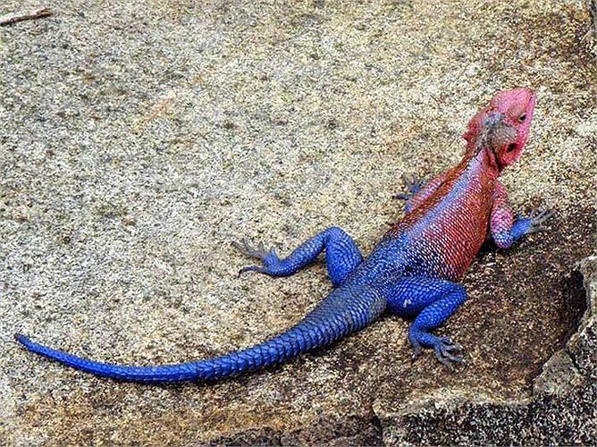 Chúng là loài đặc hữu ở Tanzania Rwanda và Kenya.