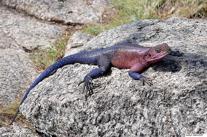 Vì có vẻ đẹp đặc biệt nên thằn lằn Agama là vật nuôi cảnh đắt giá ở Mỹ và nhiều nước trên thế giới.