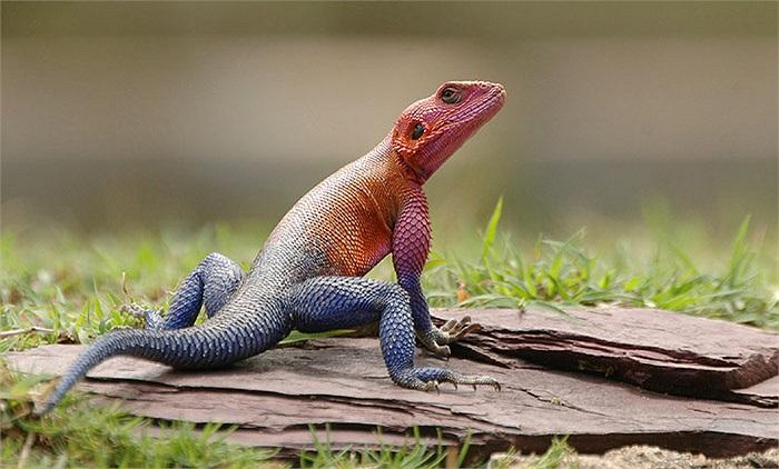 Vì môi trường sống bị thu hẹp và sự săn lùng của giới chơi vật cảnh, nên số lượng Agama giảm sút nghiêm trọng trong môi trường tự nhiên.