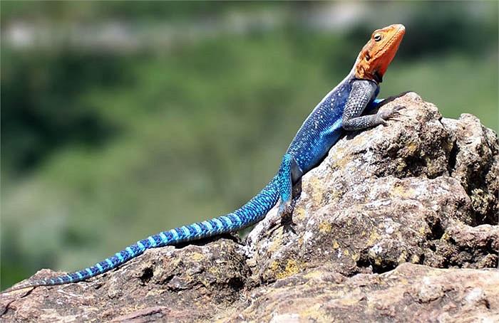 Trong môi trường nuôi nhốt đúng quy cách, thằn lằn Agama có thể đạt tuổi thọ 15 năm. Chúng có thể sống lâu hơn trong môi trường tự nhiên.