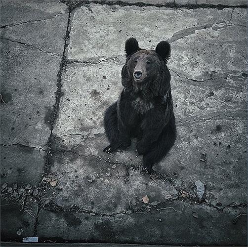 Chú gấu ở vườn thú Bình Nhưỡng