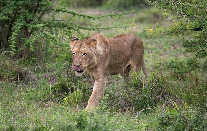 Sử tử đói đi săn mồi ở công viên quốc gia Nam Phi