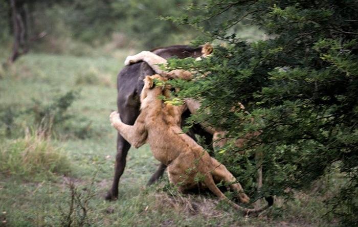 Hai con sư tử ẩn mình sau bụi cây chờ săn mồi