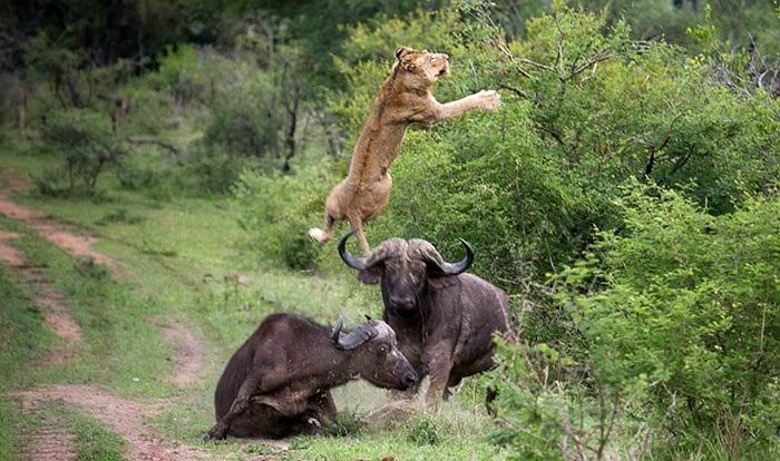 Trâu húc tung sư tử để cứu đồng loại