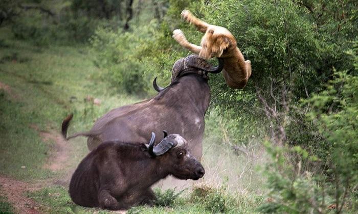 Ngoạn mục cú húc tung sư tử của trâu để cứu đồng loại