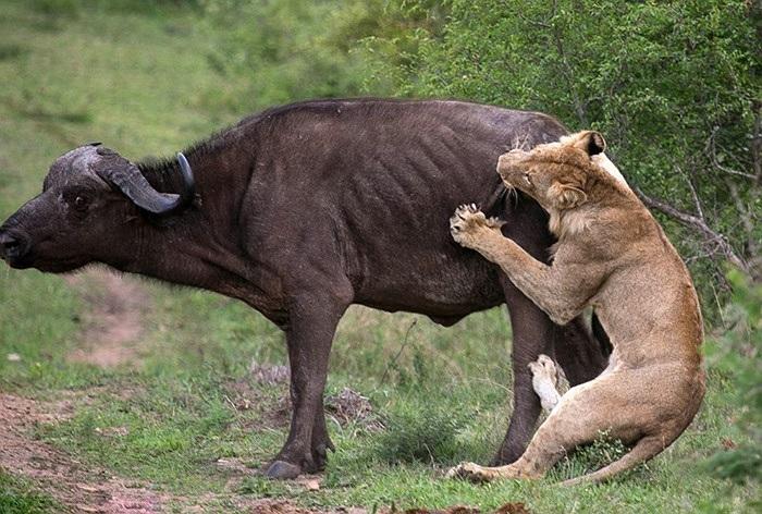 Sư tử đói ngấu nghiến cắn vào hông con trâu