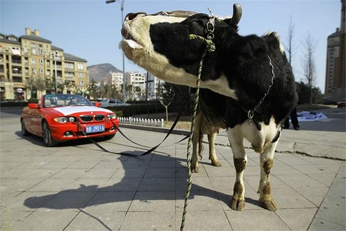 Chú bò được buộc vào chiếc BMW ở Thanh Đảo, tỉnh Sơn Đông, Trung Quốc