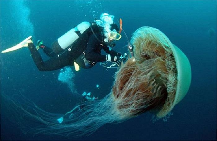 Loài sứa Nomura có kích thước khổng lồ ở vùng biển Nhật Bản