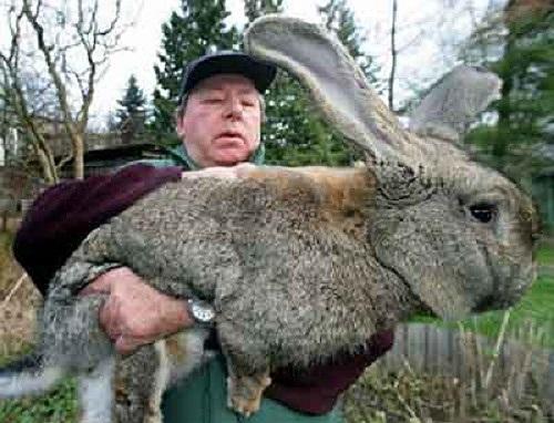 Chú thỏ màu xám khổng lồ
