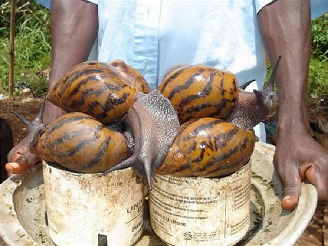 Những con ốc sên ở châu Phi có chiều dài 20cm
