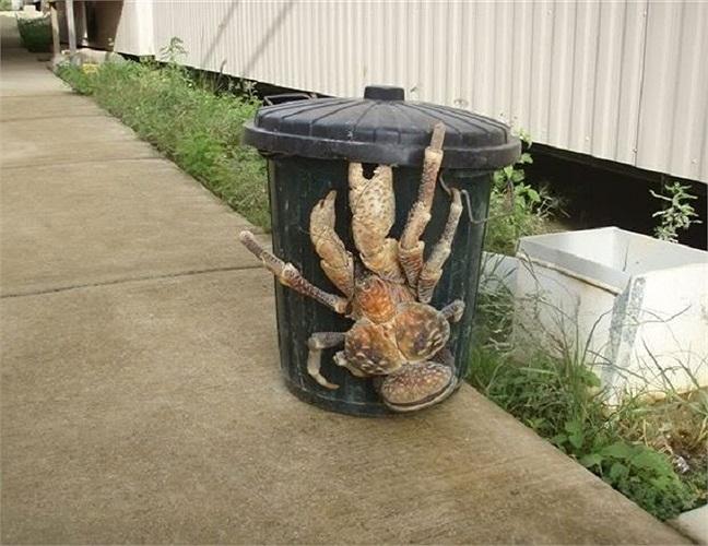 Loài cua dừa có kích thước gần bằng thùng rác