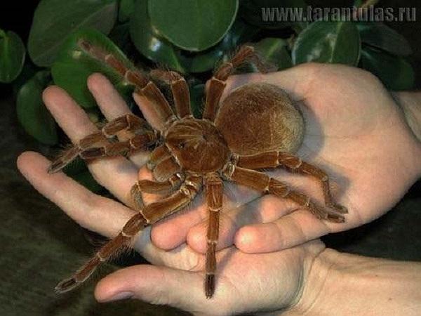 Chú nhện Tarantula chuyên ăn thịt loài chim – một trong những loài nhện đáng sợ nhất thế giới