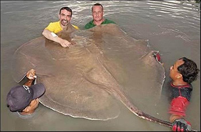 Phải 5 người mới bê được con cá đuối gai độc nước ngọt khổng lồ có bề ngang rộng 1,8 m và dài 4,2 m, nặng 150 kg ở Thái Lan