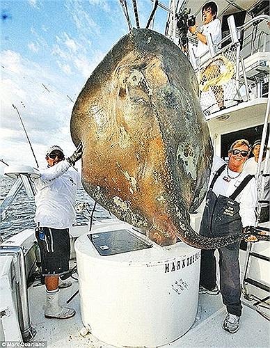 Con quái vật có hình dáng giống cá đuối với cân nặng và chiều dài vô cùng lớn, sống ở độ sâu khoảng 300m dưới đáy đại dương