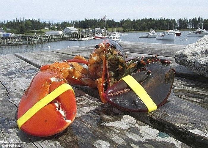 Con tôm hùm kỳ quái 2 màu cực ở Vịnh Maine, Mỹ