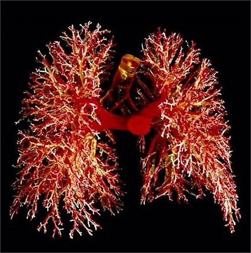 Phổi chứa hơn 300.000 triệu mao mạch (mạch máu nhỏ). Nếu được xếp thẳng hàng, chúng sẽ kéo dài tới 2400km (1500 dặm).