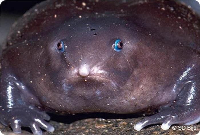 Với màu tím đặc trưng lúc trưởng thành, chúng còn được gọi là ếch tím.