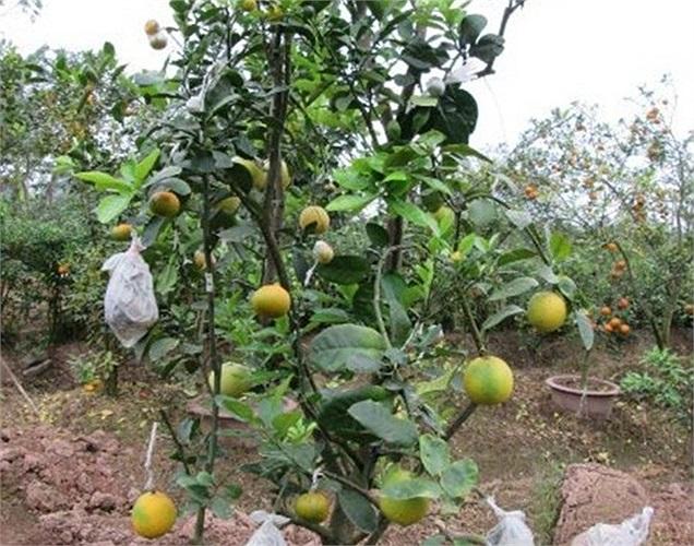 Cây có đủ 5 loại cành, một trong những cây ngũ quả có giá đắt nhất vườn ông Giáp.