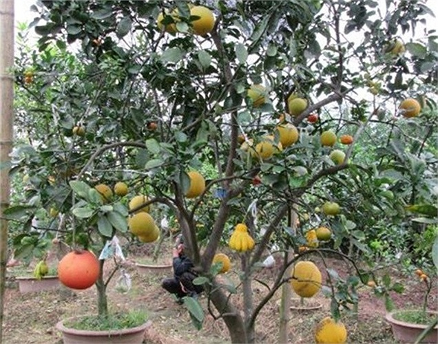 Độc đáo cây có bảy loại quả, giá vài chục triệu đồng. Cây ngũ quả đủ màu sắc, mang nhiều ý nghĩa trong dịp Tết đến xuân về.
