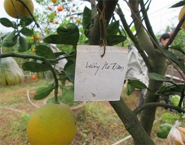 Mặc dù phải ghép nhiều loại quả nhưng ông chỉ phải tìm mua chanh đào, phật thủ, bưởi đỏ. Những loại quả khác thường là nhà trồng được và của bạn bè - những người được ông giúp đỡ - đến cho.
