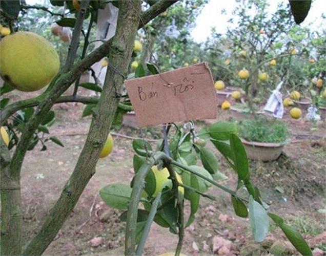 Để cây trông đẹp mắt, ông đã ghép thêm nhiều loại quả vào. Quả mới ghép sẽ được bọc báo để tránh ánh nắng chiếu vào.