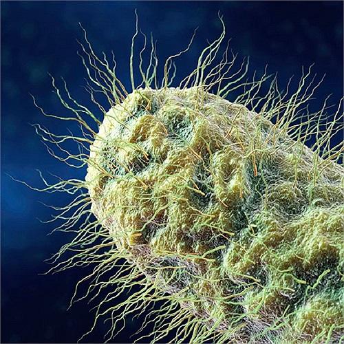 Hình ảnh zoom cận cảnh một vi khuẩn hình que đặc trưng của E.Coli và Salmonella.