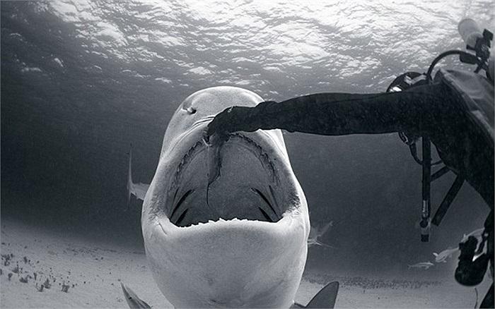 Nữ thợ lặn Vincent Canabal cho cá mập ăn ở Vịnh cá mập ở Bahamas