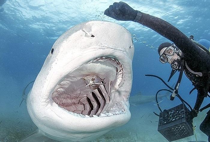 Thợ lặn cho lũ cá mập ăn bằng tay, không cần dụng cụ bảo vệ