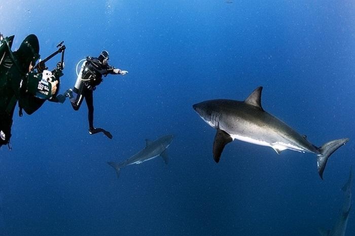 Chơi đùa với cá mập trắng khổng lồ