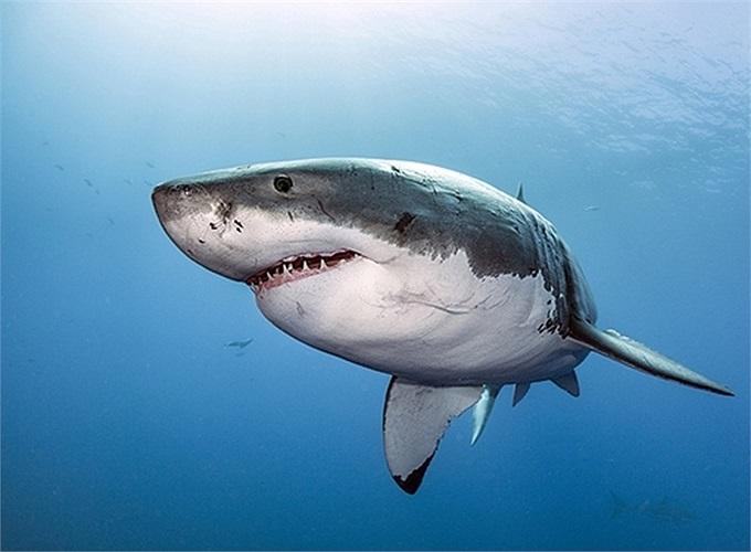 Cận cảnh cá mập trắng lớn khổng lồ