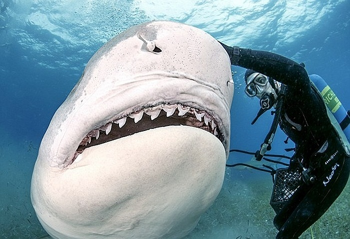 Loài cá mập này có thể ăn cá, hải cẩu và cả những con cá mập bé hơn