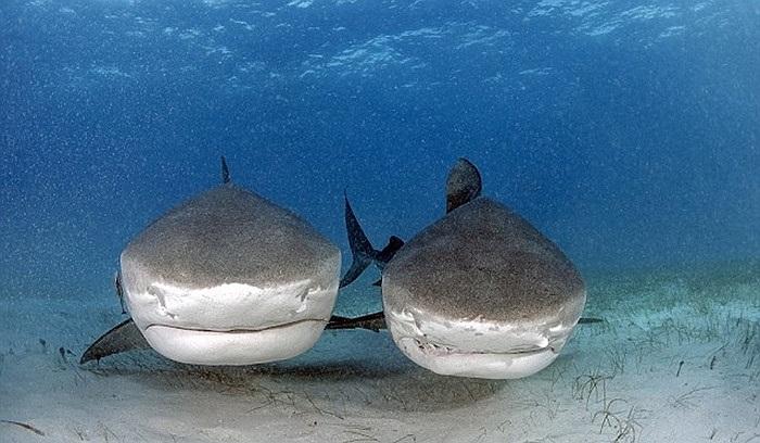 Một cặp cá mập nằm chờ ăn dưới đáy biển