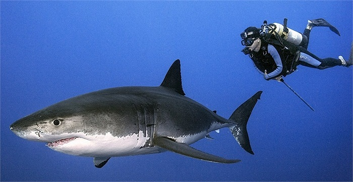 Họ dường như không sợ hãi trước kẻ ăn thịt hung dữ nhất biển cả
