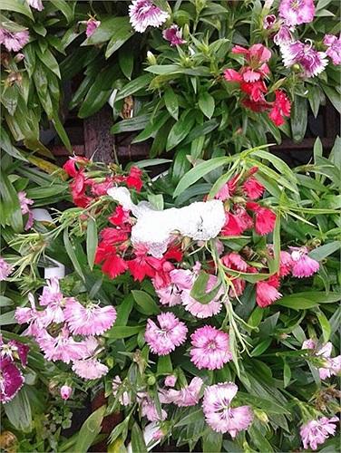Những cánh hoa mỏng manh chống chịu thời tiết khắc nghiệt.